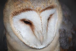 White Barn Owl