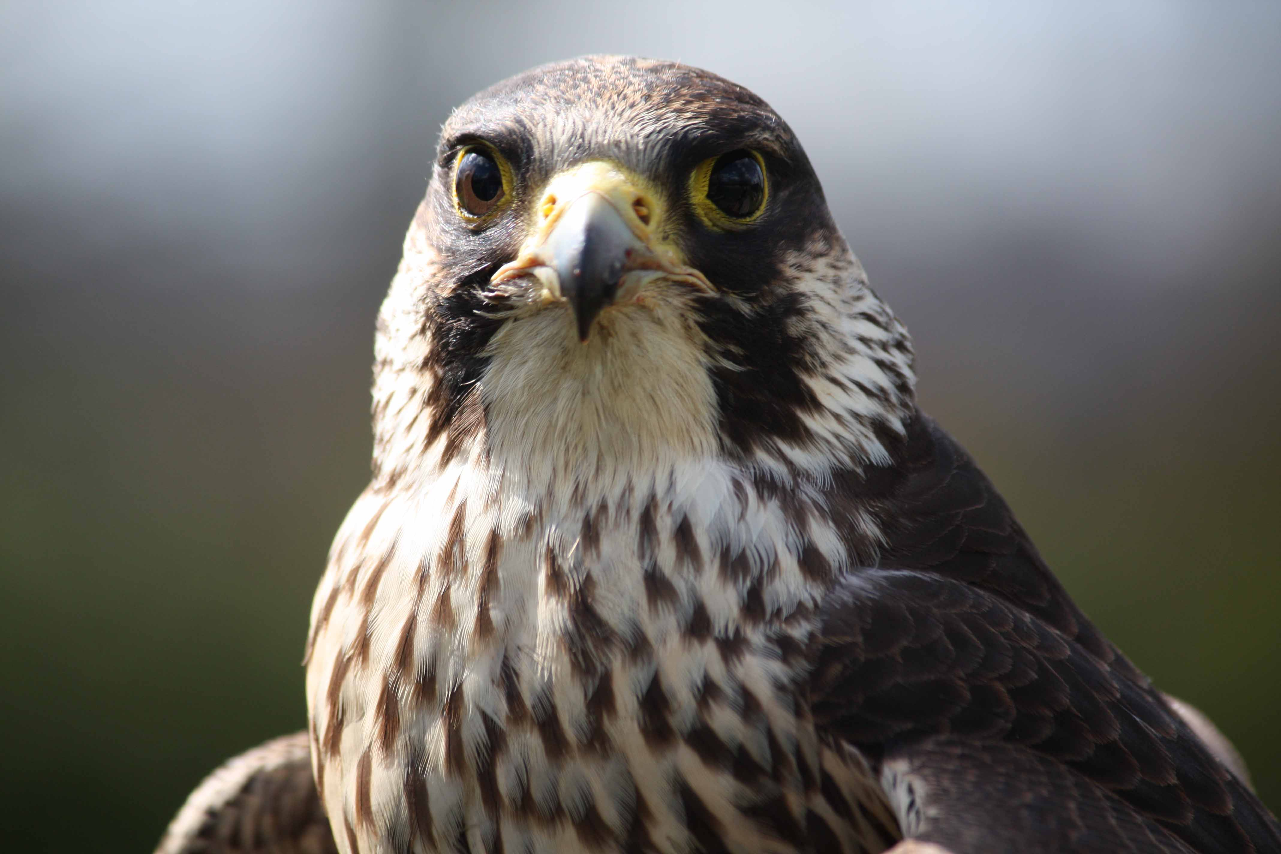paragon falcon pictures