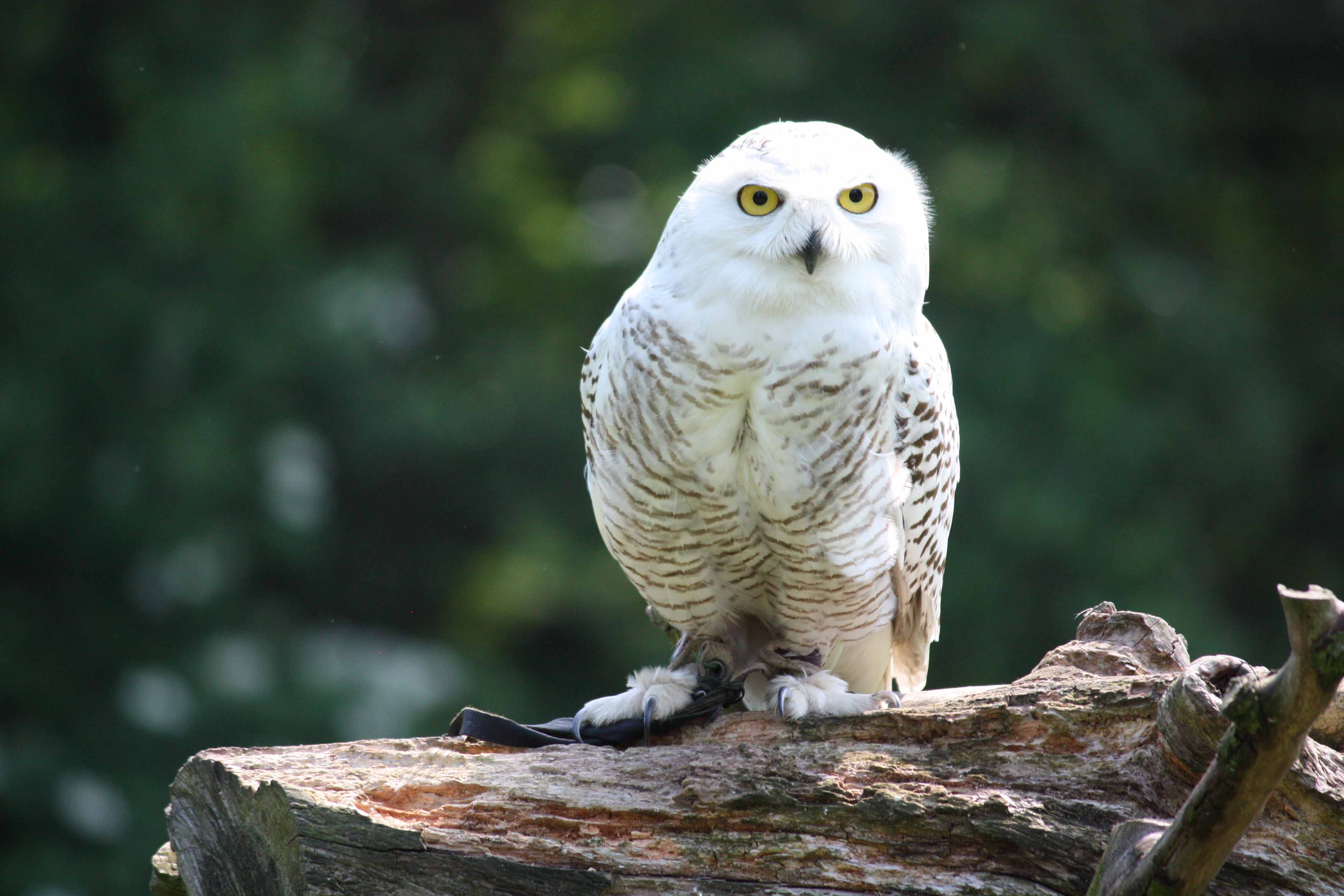 Snowy owl cramlington - 88