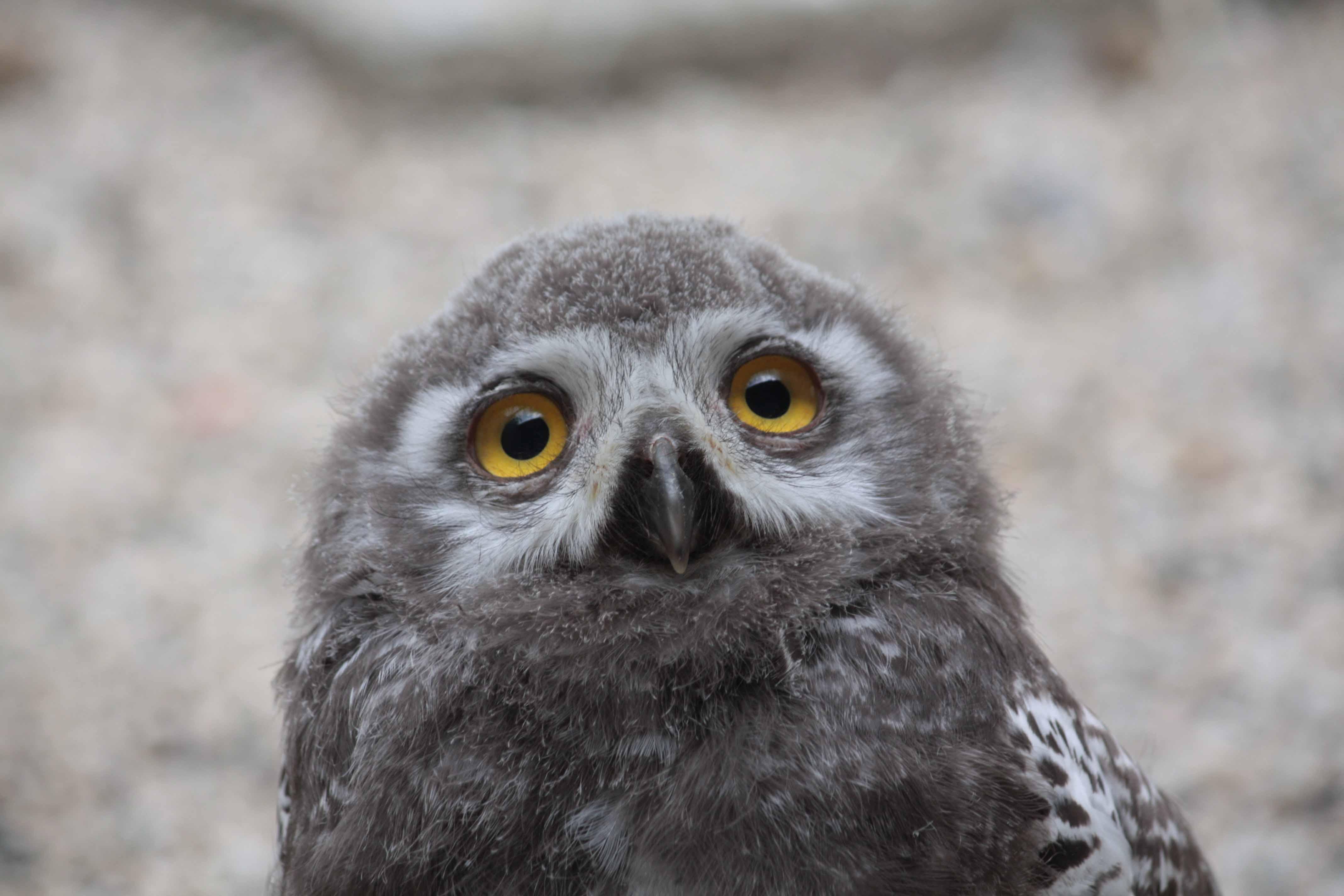 Snowy owl cramlington - 5b0fb